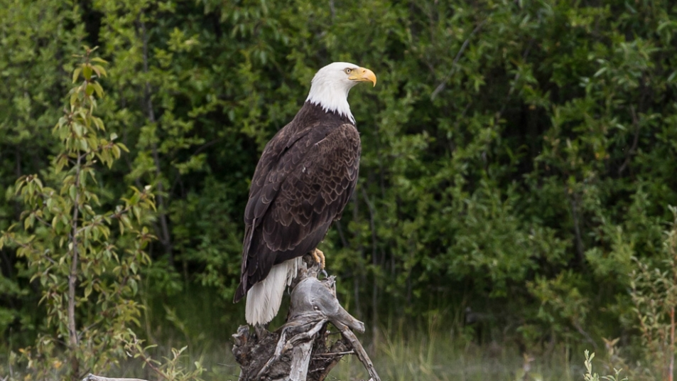 Bald eagles in Canada
